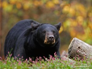 Canadian-Black-Bear-wallpaper