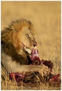 lion-eating-gazelle