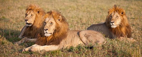 male-lions1