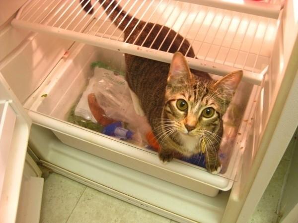 gatto-nel-frigorifero-vuoto